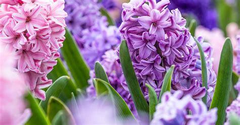 hyacinths plant bulbs care grow lovethegarden