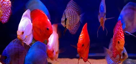 stendker discus discus fish bred  health  vitality