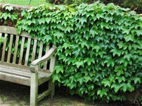 Best 25+ Fast Growing Vines Ideas On Pinterest Backyard