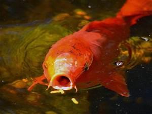 Nourriture Poisson Bassin : eviter les maladies des poissons de bassin ~ Melissatoandfro.com Idées de Décoration