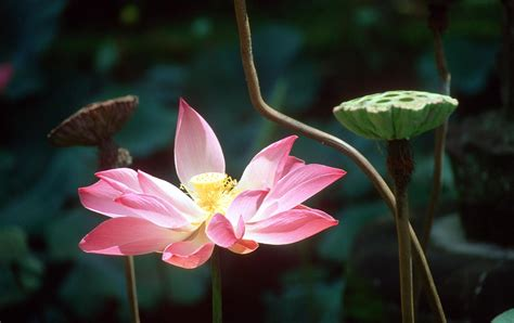 garden flowers in the world beautiful lotus