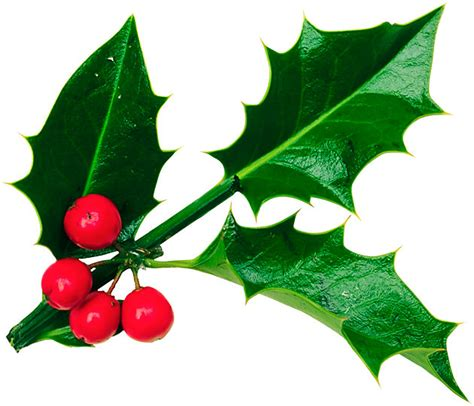 what color are mistletoe berries everything you want or didn t want to about