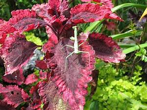 Raffle Types Coleus Plant Care And Collection Of Varieties Garden Org