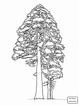 Coloring Sequoia Redwood Giant Pine Tree Drawing Printable Trees Cone Cedar Tutorial Colouring Sketch Drawings Line Supercoloring Template Happy Nature sketch template