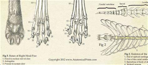 skeletal anatomy   domestic cat poster