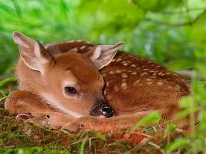 Baby deer wallpapers | Baby Animals