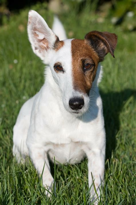smooth fox terrier facts characteristics information