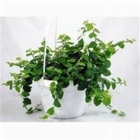 Le ricerche scientifiche sulla capacità delle piante da interni di purificare l'aria non lasciano spazio ad piante da appartamento e da interno per il 2020, piante grasse, verdi o carnivore per arredare della casa. Ficus pumila - Piante da interno - Ficus pumila pianta