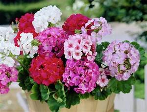Balkonpflanzen Sonnig Pflegeleicht : pflegeleichte balkonpflanzen den balkon leicht und schnell versch nern ~ Frokenaadalensverden.com Haus und Dekorationen