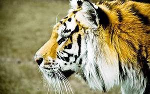 Download Wallpaper 2560x1600 Tiger face side view, blur ...