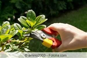 Kirschlorbeer Wann Pflanzen : kirschlorbeer schneiden zeitpunkt und anleitung ~ Lizthompson.info Haus und Dekorationen