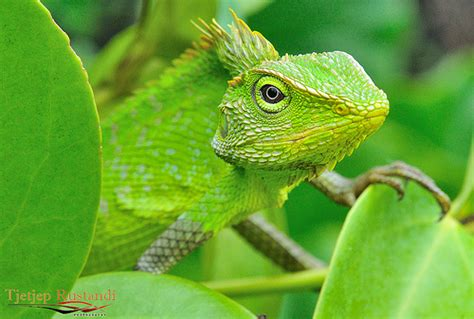 types of chameleons bunglon some chameleon species are able to change their sk flickr photo sharing