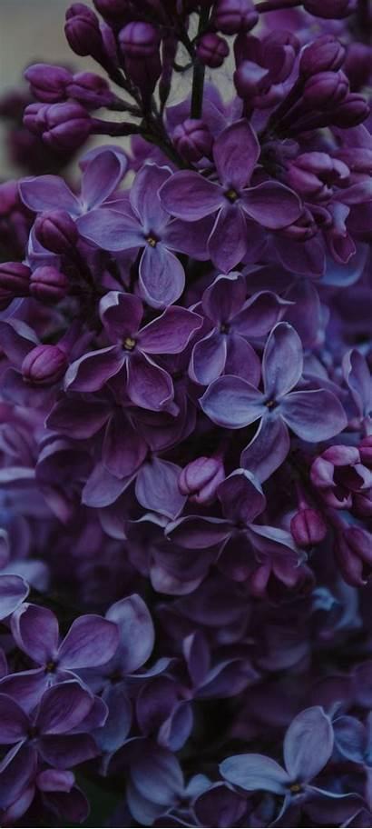 Lilac Flowers Inflorescences 1600