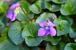Even Violets Need a Plan B | Blog Castanea