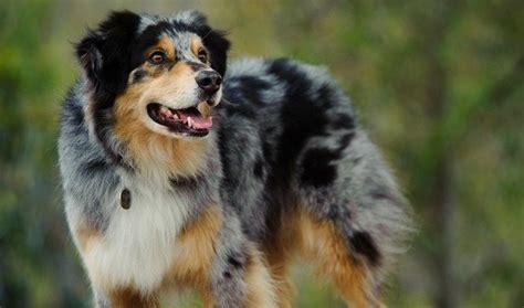 shepherd breeds   types  shepherd dogs