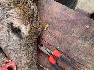 parasitic deer flies   widespread   thought