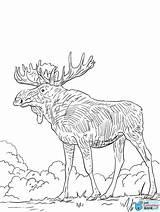 Elk Outline Coloring Template Drawing Deer Sketch Justcoloringbook sketch template