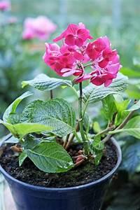 Hortensie Im Topf : rosa hortensie in einem topf stockfoto bild von vibrant hydrangea 73182682 ~ Eleganceandgraceweddings.com Haus und Dekorationen