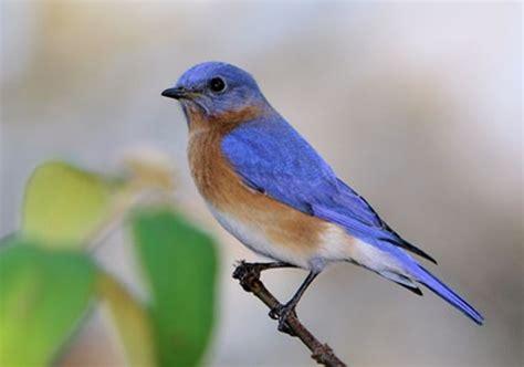 the joy of bluebirds wind blowing