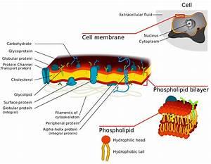 File Cell Membrane Detailed Diagram 3 Svg