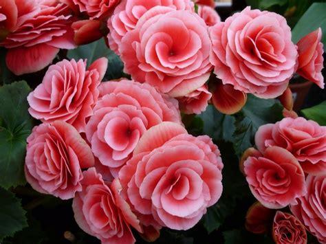 fiori begonie fiori di primavera i 10 tipi simboleggiano la stagione
