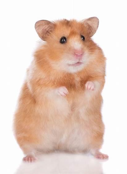 Hamster Mites Pets Mite Hamsters Treat Diagnosis