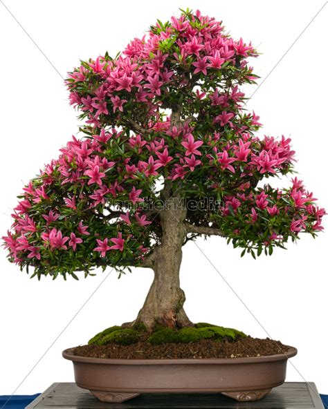 baum mit rosa blüten bl 252 hender azaleen bonsai baum mit rosa bl 252 ten lizenzfreies foto 9581476 bildagentur