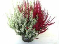 Kuebelpflanzen Winterhart Bluehend : calluna vulgaris besenheide heidekraut rosa 12 cm topf ~ Whattoseeinmadrid.com Haus und Dekorationen