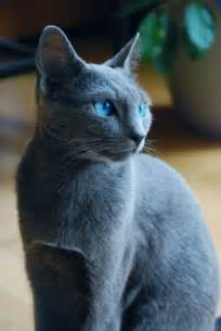 blue gray cat forestclan warrior cats fan clans and roleplaying wiki