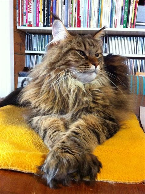 do maine coons shed their mane 25 best maine coon ideas on maine coon cats