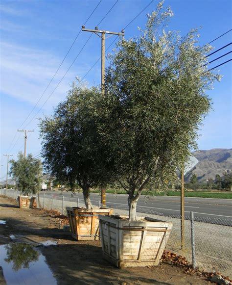 olive wilsonii wilsonii fruitless olive 48 quot box olive trees fruitless inventor