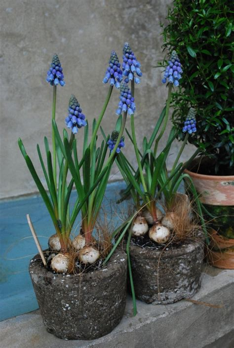 flowering bulbs in containers dirt simple