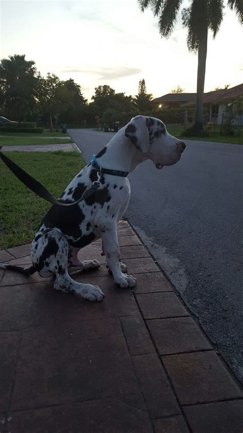 great dane colors harlequin 25 best ideas about blue great danes on great