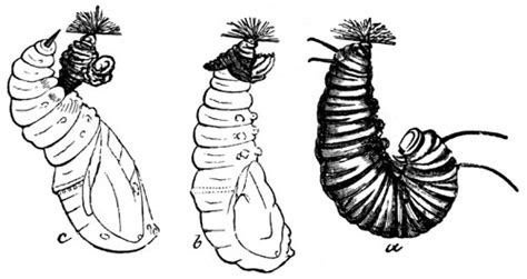chrysalis clipart black and white cocoon clipart clipground