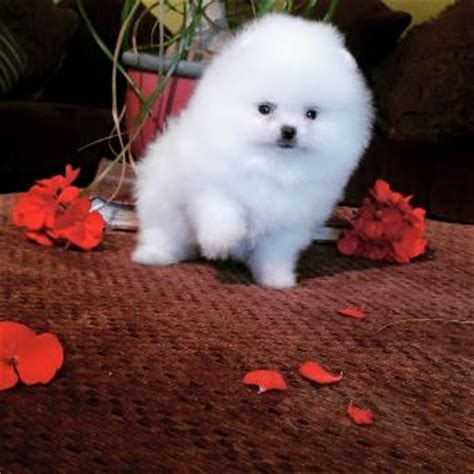 white pomeranian puppies  sale los angeles southern