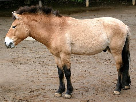 horse przewalski endangered wild horses animals breeds przewalskis asia breed asian very equine northern equus true animal information native names