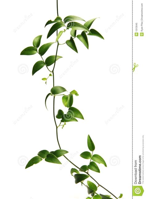 what is that vine green vine stock image image of green produce pretty