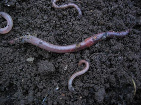 worms for garden worm 07