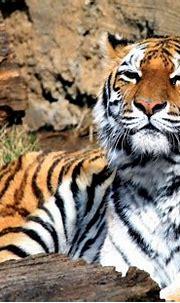 Animal tiger Panthera tigris predator mammal big cat ...