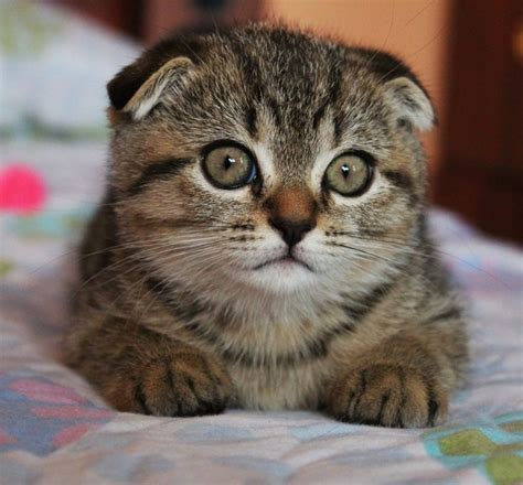 fold scottish cat cats ears down ear malhado forward breed head animals keep its kittens folds