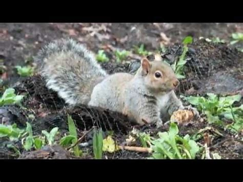 keep squirrels from bulbs squirrel straggling to eat a tulip bulb cute and funny youtube