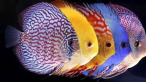 Discus Fish Care (1) - YouTube