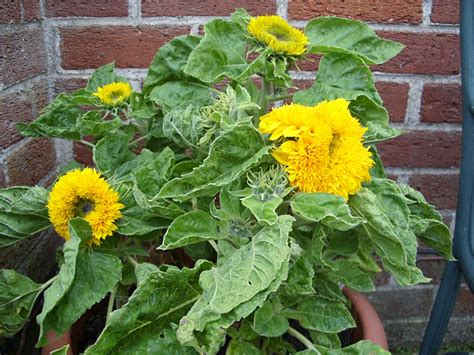 can i grow sunflowers in pots growing sunflowers in pots 3 the minimalist nyc