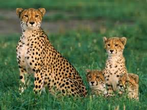 cheetah cat big cat pictures big cat wallpapers national geographic