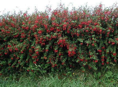 hedge with flowers plants flowers 187 fuchsia magellanica var macrostema