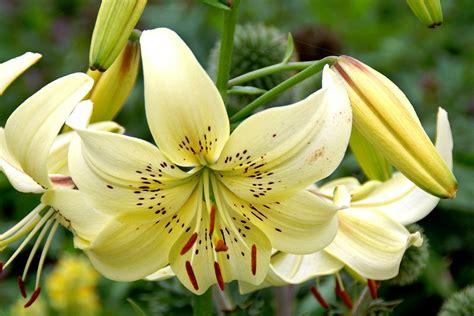 Pflanzen Für Asiatischen Garten by Asiatische Lilien F 252 R Den Garten Gartentechnik De