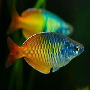 Rainbow Fish -Amazing Amazon