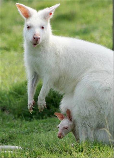 kangaroos white the alphabet re mixed babies nature babies