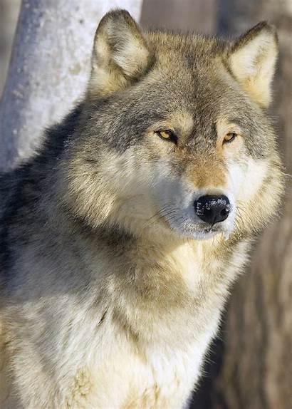 Wolf Timber Pitcher John Photograph Timberwolf Canvas