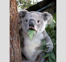 Image Koala Bear Is Astonished Yogscast Wiki